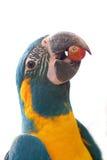 Papegaai die op Wit wordt geïsoleerd Stock Afbeelding