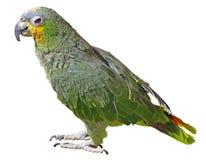 Papegaai die op Wit wordt geïsoleerdI royalty-vrije stock afbeeldingen