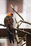 Papegaai die van gevangenschap in binnenplaats is ontsnapt aan royalty-vrije stock fotografie