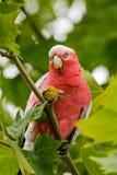 Papegaai die zaden eet Royalty-vrije Stock Fotografie