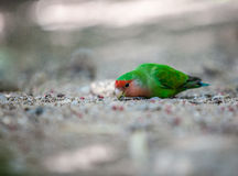 Papegaai die zaden ter plaatse eten. Stock Foto