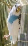 Papegaai in een gouden kooi Stock Foto