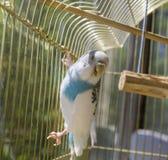 Papegaai in een gouden kooi Royalty-vrije Stock Foto's
