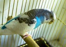 Papegaai in een gouden kooi Royalty-vrije Stock Foto