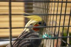 Papegaai in een kooi Effect onduidelijk beeld op de bars van de cel royalty-vrije stock foto