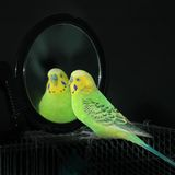 Papegaai in een spiegel Stock Afbeelding