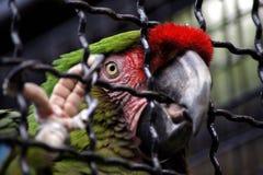 Papegaai Grote Groene Ara in kooi in Dierentuin Hodonin Royalty-vrije Stock Fotografie