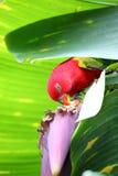 Papegaai het eten. (Torquata Psittacus) Stock Foto