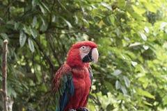 Papegaai in het regenwoud Royalty-vrije Stock Foto's
