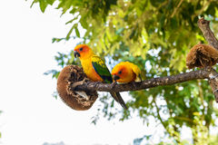 Papegaai, Kleurrijke papegaai, Arapapegaai, Kleurrijke ara Royalty-vrije Stock Afbeelding