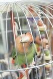 Papegaai in kooi stock fotografie