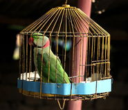 Papegaai in kooi Stock Foto's