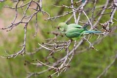 Papegaai - krameri Psittacula Stock Foto's