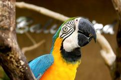 Papegaai maccaw Royalty-vrije Stock Foto