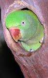 Papegaai in nesthole stock foto's