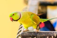 Papegaai in Ochtendlicht Stock Afbeeldingen