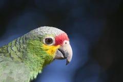 papegaai op bokehachtergrond Stock Afbeelding
