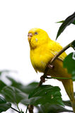 Papegaai op tak Stock Afbeeldingen