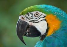 Papegaai peinzend N1 - Stock Afbeelding