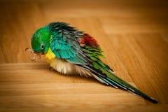 Papegaai - psephotushaematonotus royalty-vrije stock foto's