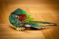 Papegaai - psephotushaematonotus stock afbeelding
