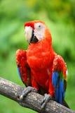 Papegaai: scharlaken ara Stock Afbeelding