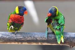 Papegaai twee Eclectus Stock Afbeelding