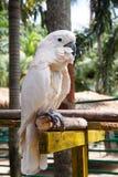 Papegaaiara Stock Foto