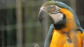 Papegaaiaronskelken in de dierentuin van Ljubljana stock footage