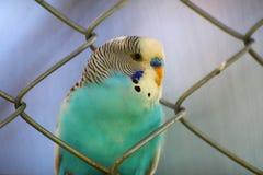 Papegaaiblauw Royalty-vrije Stock Foto's