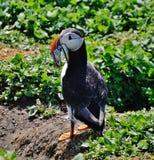Papegaaiduiker Stock Foto's