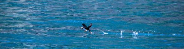 Papegaaiduiker bij de kust van Alaska Royalty-vrije Stock Foto