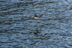 Papegaaiduiker die over de oceaan vliegen royalty-vrije stock afbeelding