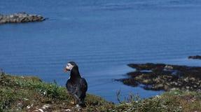 Papegaaiduiker die uit aan overzees in papegaaiduikerkolonie kijken in Hebrides royalty-vrije stock fotografie