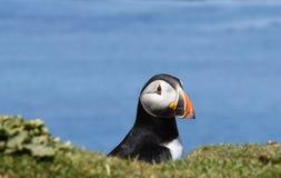 Papegaaiduiker die uit hol in papegaaiduikerkolonie kijken in Hebrides royalty-vrije stock fotografie
