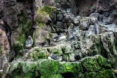 Papegaaiduiker die zich op een klip bevinden stock foto's