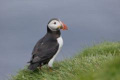 Papegaaiduiker, Fratercula-arctica royalty-vrije stock foto