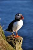 Papegaaiduiker, IJsland Stock Foto