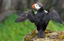 Papegaaiduiker op de rots, IJsland Stock Fotografie