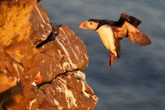 Papegaaiduiker op de rotsen bij latrabjarg royalty-vrije stock afbeeldingen
