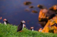 Papegaaiduiker op de rotsen in Borgarfjordur IJsland Stock Foto's