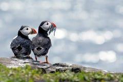 Papegaaiduikerpaar klaar voor diner stock afbeeldingen