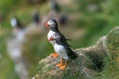 Papegaaiduikers de Noord- van de Atlantische Oceaan in de Faeröer Mykines, recente summe stock afbeelding