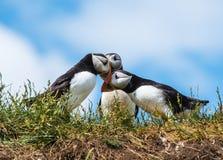 Papegaaiduikers die op de Farne-Eilanden, Northumberland, Engeland factureren Stock Afbeelding