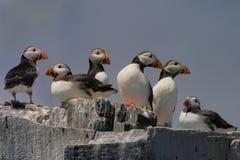 Papegaaiduikers op de klippenbovenkant Royalty-vrije Stock Foto