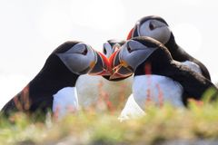 Papegaaiduikers tijdens bronst Stock Foto's
