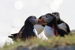 Papegaaiduikers tijdens bronst Royalty-vrije Stock Foto