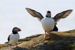Papegaaiduikers tijdens bronst Stock Fotografie