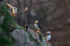 Papegaaiduikervogels op rotsachtige klippen Royalty-vrije Stock Fotografie