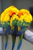 Papegaaien Stock Afbeelding